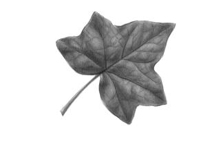 """""""En fait, les données semblaient indiquer que cette feuille avait poussé sur deux arbres à la fois."""" // """"De hecho, los datos parecían indicar que esta hoja había brotado en dos árboles a la vez."""" (Daniel Canty, Wigrum, La Peuplade, 2011)."""